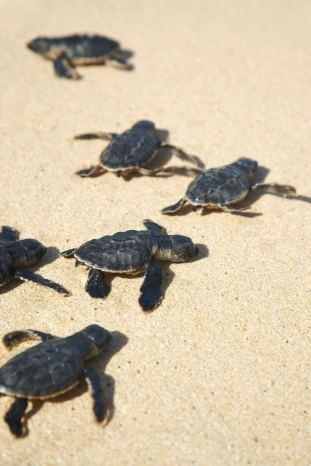 Turtle Shangrila 1